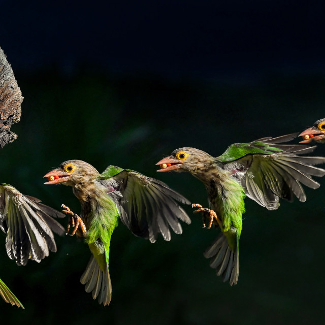 """""""Lineated Barbet Flight Sequence 09"""" stock image"""