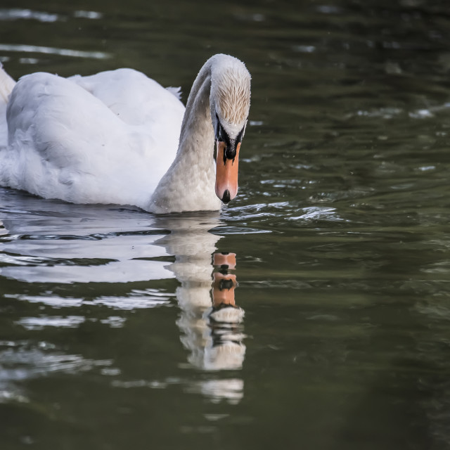 """Swan on the Avon"" stock image"