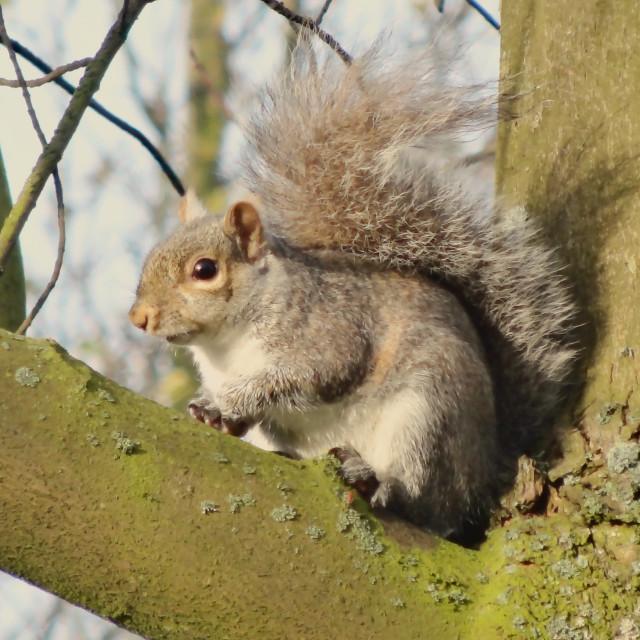 """""""Grey Squirrel, Victoria Park"""" stock image"""
