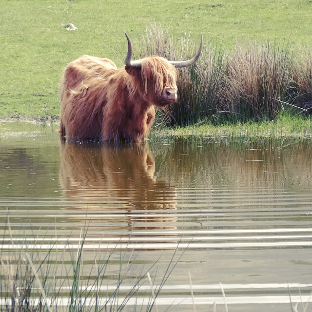 """""""Highland Cow at Water's Edge"""" stock image"""