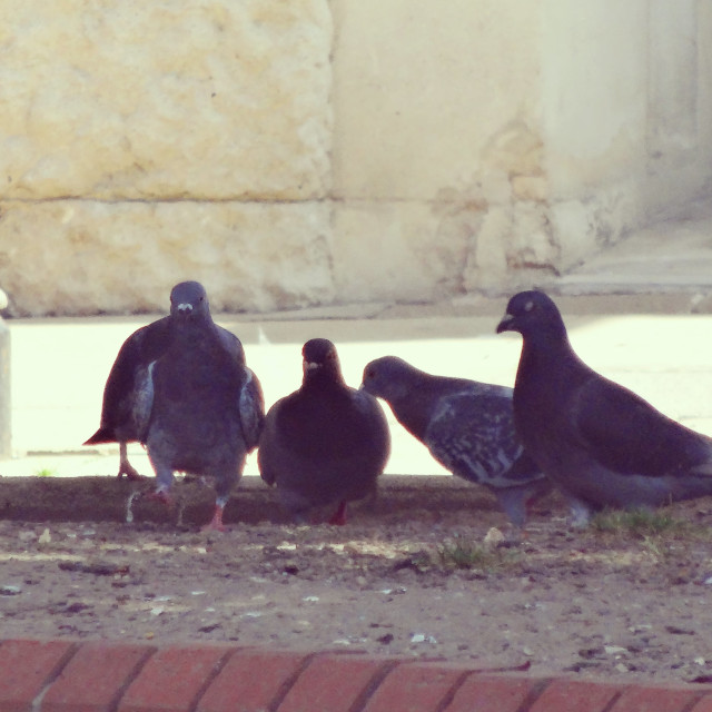 """Pigeon Loiterers, Town Hall Square"" stock image"