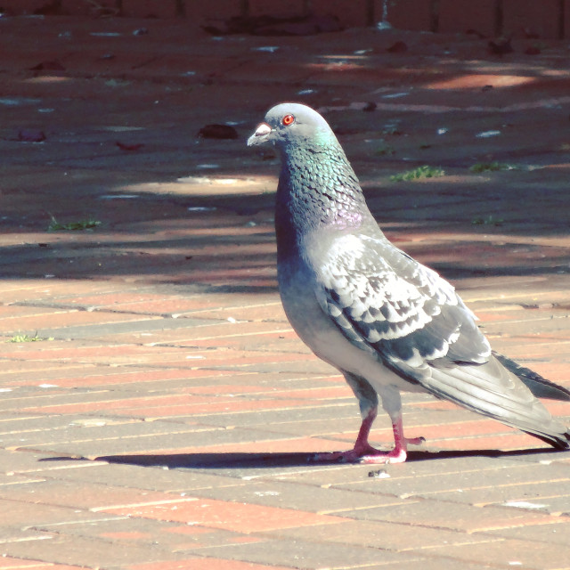 """Pigeon, Town Hall Square"" stock image"