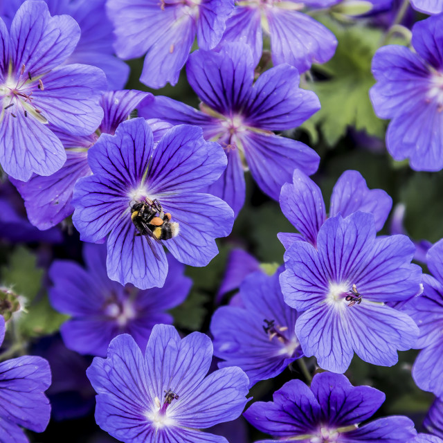"""""""purple and the Bee"""" stock image"""