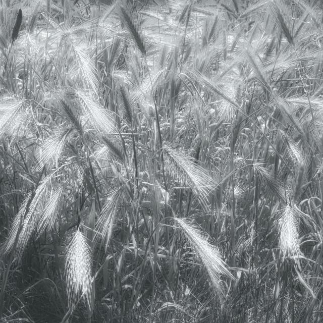 """Wild Barley Grass"" stock image"