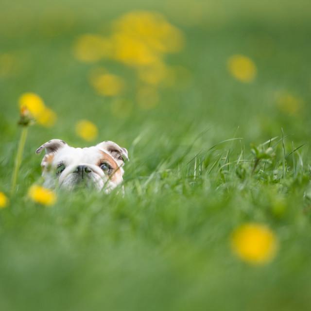 """Isolated English bulldog running through high grass"" stock image"