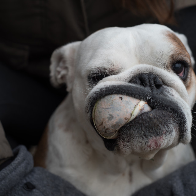 """""""Isolated English bulldog with a ball in his mouth"""" stock image"""