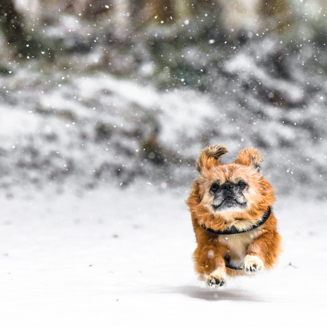 """""""Isolated small dog running through the snow"""" stock image"""