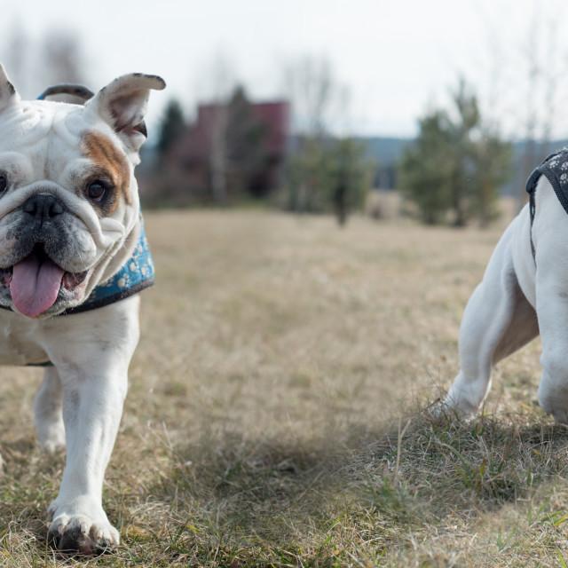 """Two isolated English bulldog having fun"" stock image"
