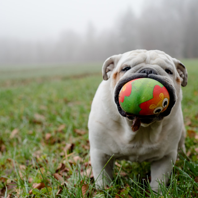 """""""Isolated English bulldog having a big ball in his mouth"""" stock image"""