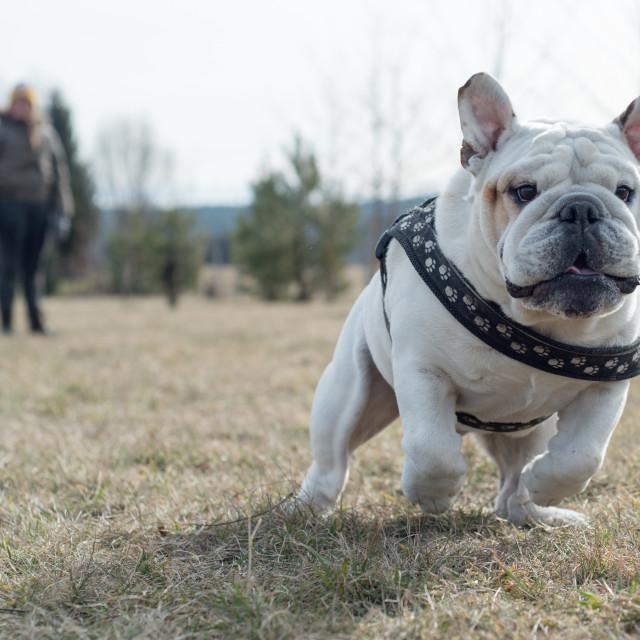 """""""Isolated English bulldog having fun"""" stock image"""
