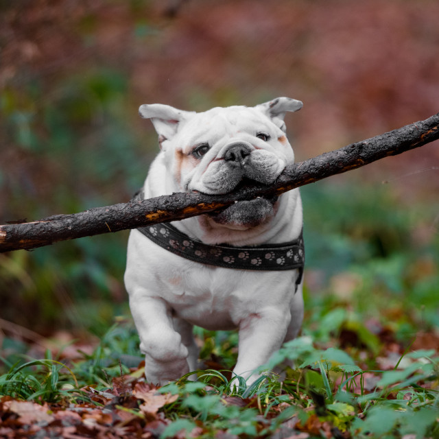 """""""Isolated English bulldog having fun with a large stick in his mouth"""" stock image"""