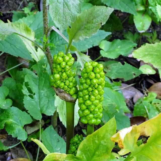 """""""Lamium album, plant in botanical garden"""" stock image"""