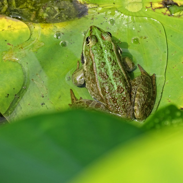 """""""Nelumbo nucifera, leaf of a water plant, with frog"""" stock image"""