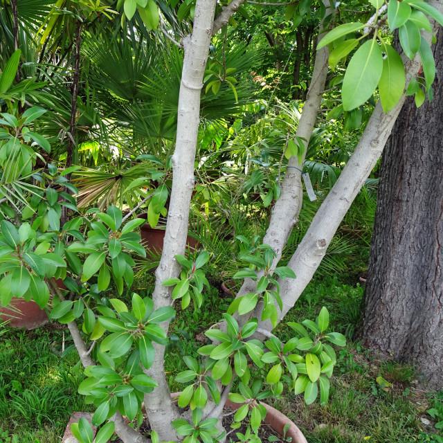 """Ficus australis, plant in botanical garden"" stock image"