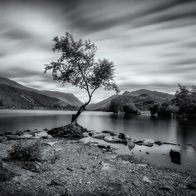 """The lonely tree at Llyn Padarn"" stock image"