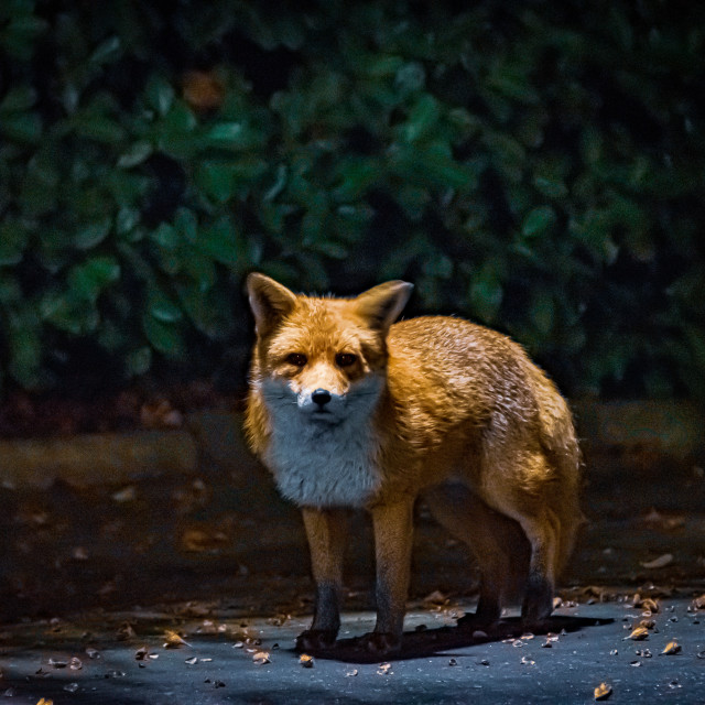 """A little fox posing under a street light"" stock image"