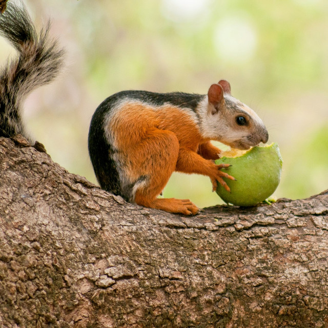 """Costa Rican Squirrel"" stock image"