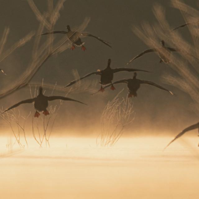 """Geese landing in foggy sunrise"" stock image"