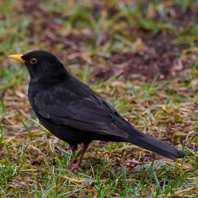 """Common blackbird male, turdus merula. Spring season."" stock image"