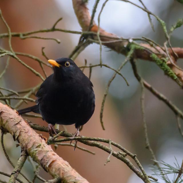 """Selective focus photo. Common blackbird male, turdus merula. Spring season."" stock image"