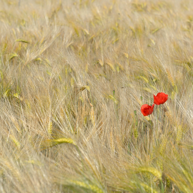 """""""red poppies blooming in a golden cereal field"""" stock image"""