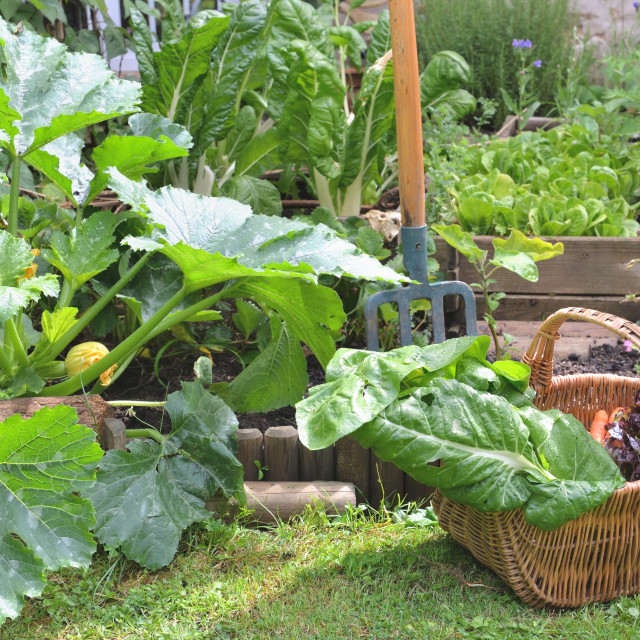 """fresh vegetables in a wicker basket harvesting in garden"" stock image"