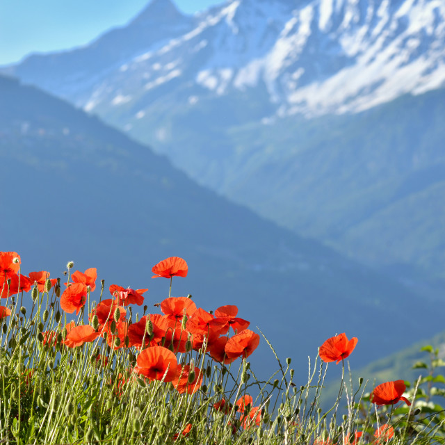 """""""beautiful red poppies flowers blooming in a meadow with snowy pe"""" stock image"""