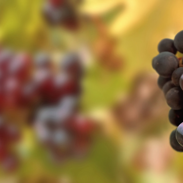 """""""panoramic view on a black grapes growing in vineyard"""" stock image"""