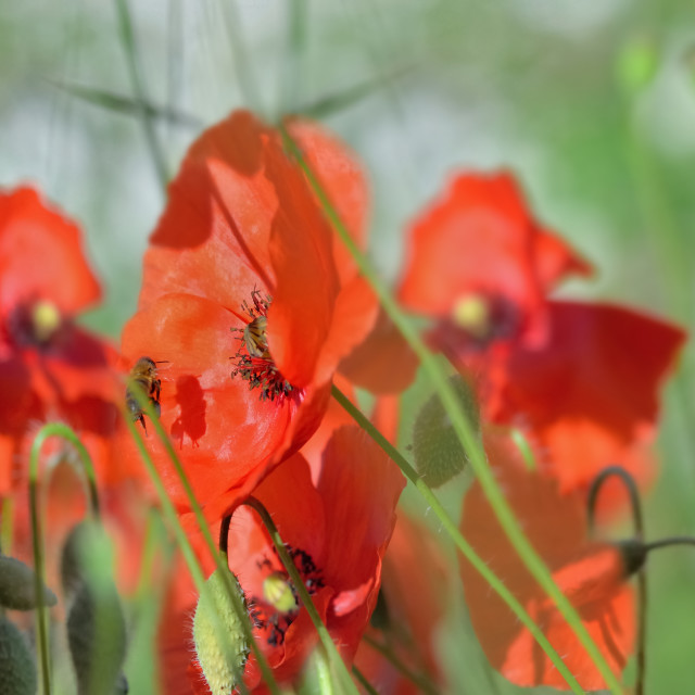 """""""beautiful red poppies flowers blooming in a meadow with honey bees in panoramic view"""" stock image"""