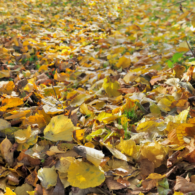 """""""panoramic view on a rake against a trunk of a tree in golden leaf in garden"""" stock image"""