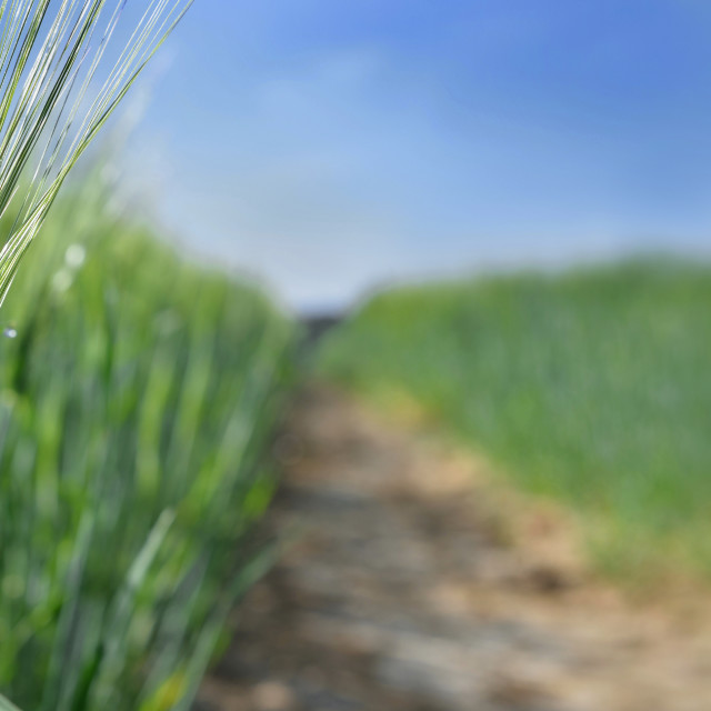 """""""close on wheat growing in a field next to a path crossing the field"""" stock image"""