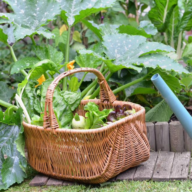 """fresh vegetables in a wicker basket harvesting in garden next to a watering can"" stock image"