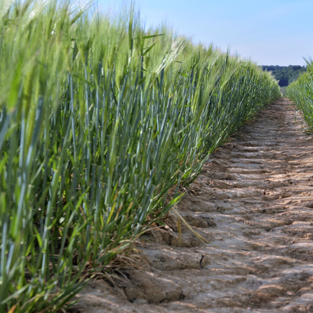 """view on dirt path crossing a wheat growing in a field"" stock image"