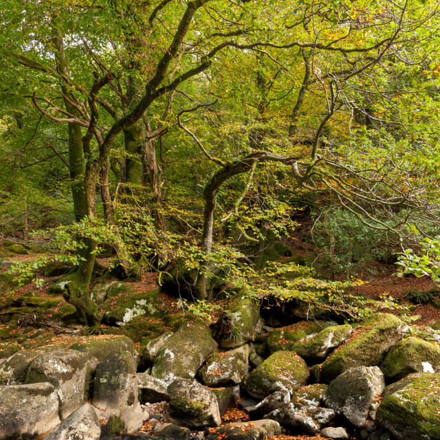 """""""Trees and Rocks, Dewerstone Woods"""" stock image"""