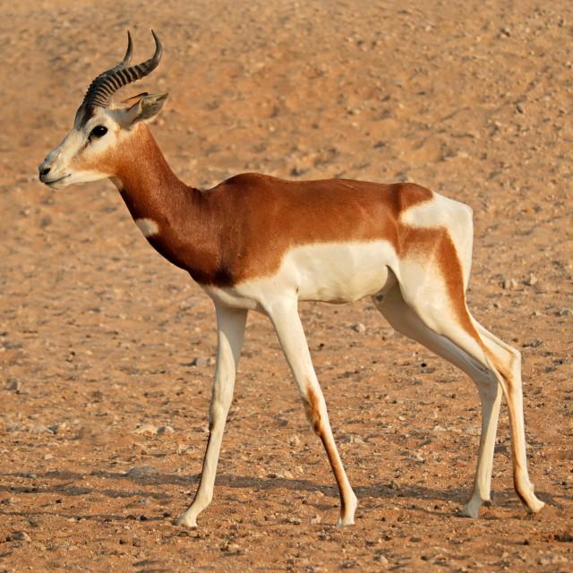 """""""Endangered dama gazelle"""" stock image"""