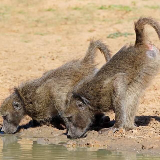 """Chacma baboons drinking water"" stock image"