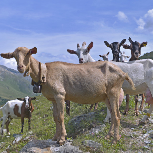 """group of goats of alpine flock in the high mountain looking camera"" stock image"