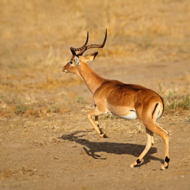 """Impala antelope running - Kruger National Park"" stock image"