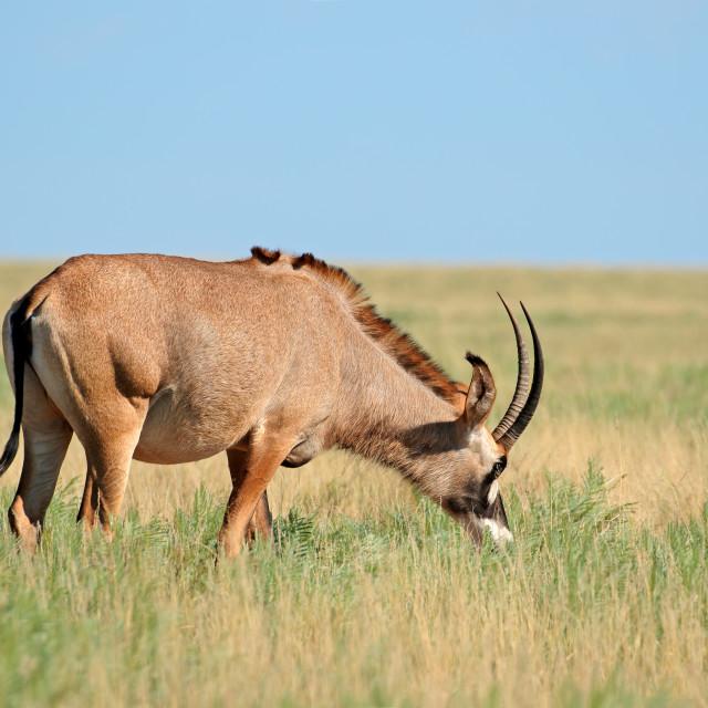 """Roan antelope in grassland"" stock image"