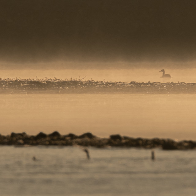 """""""Grebe in the haze of morning"""" stock image"""