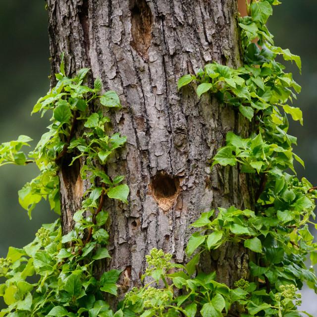 """Wooden cavity for woodpecker bird on tree trunk."" stock image"