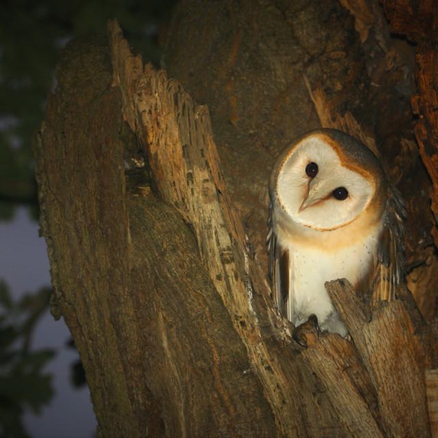 """Barn owl, Tyto alba,"" stock image"
