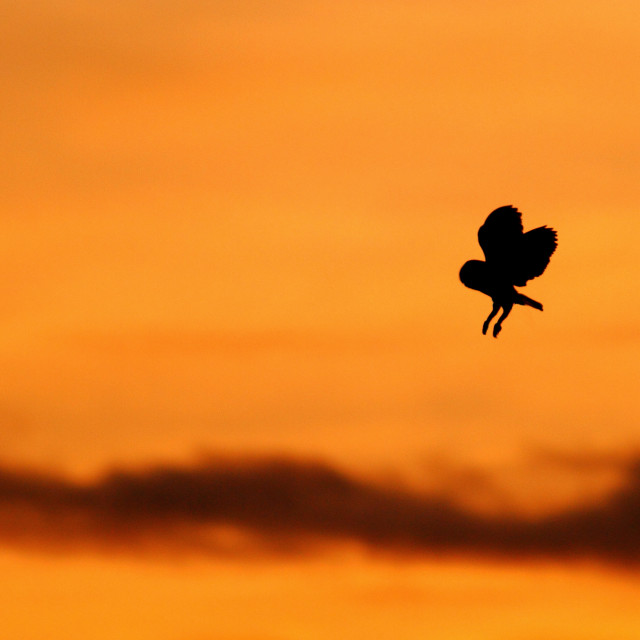 """""""Barn owl, Tyto alba, in flight silhouetted at sunset"""" stock image"""