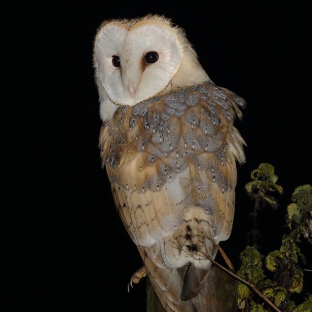 """Barn owl, Tyto alba"" stock image"