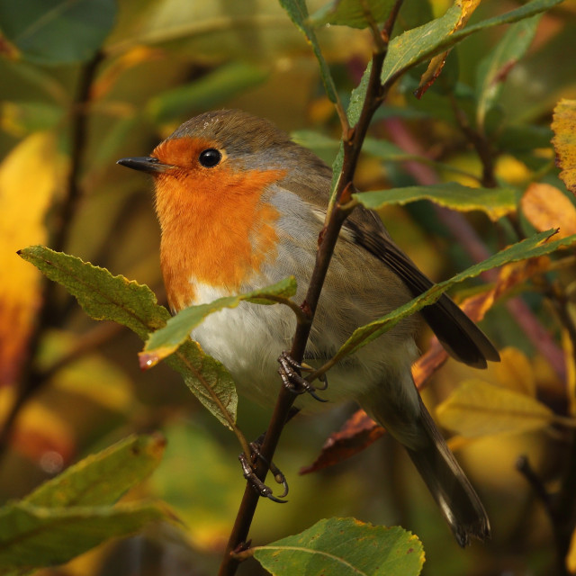 """Robin, Erithacus rubecula"" stock image"