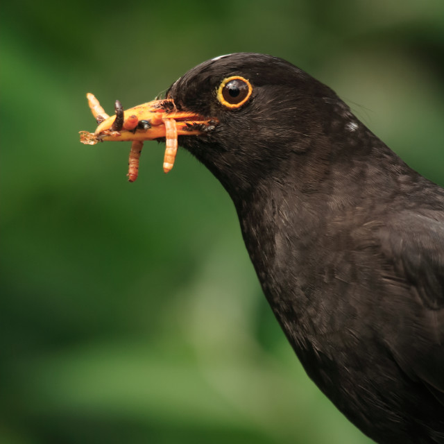 """Blackbird, Common blackbird, Turdus merula"" stock image"