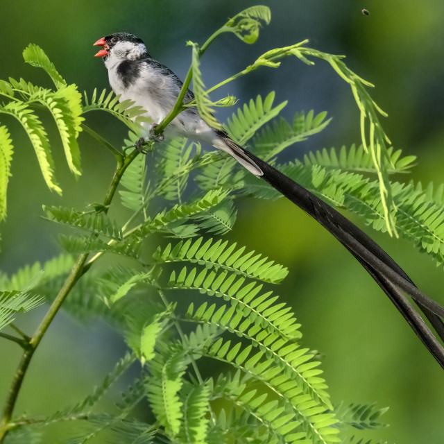 """""""Pin Tailed Whydah 18"""" stock image"""