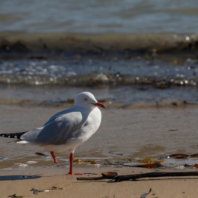 """One-legged silvergull, Palm Beach, Sydney"" stock image"