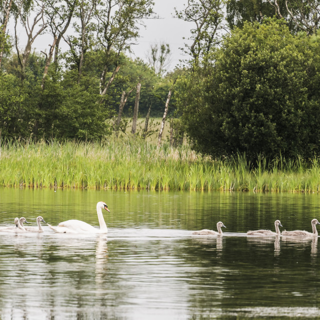 """""""Swan with cygnets"""" stock image"""