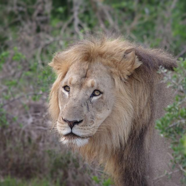 """Lion head"" stock image"